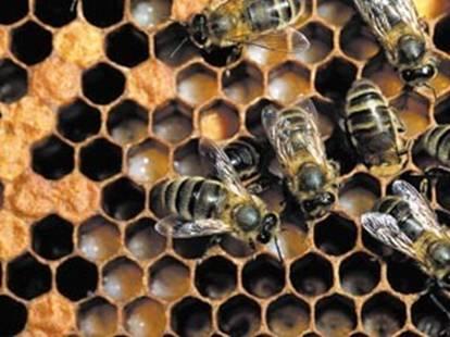 Méh álca
