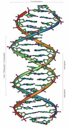 The general structure of a section of DNA